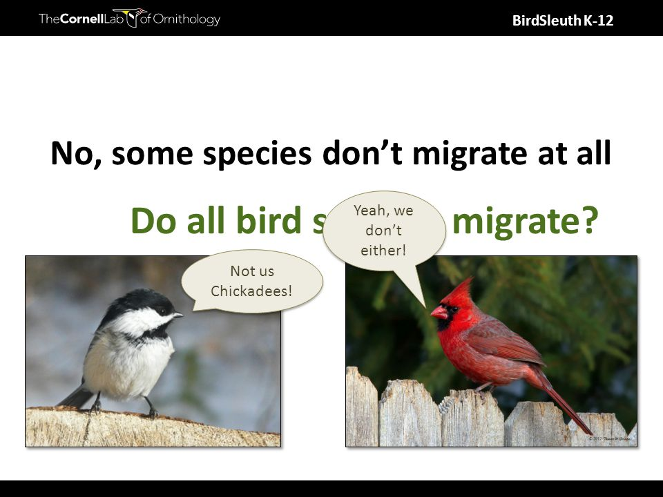 BirdSleuth K-12 Do all bird species migrate? Not us Chickadees! Yeah, we don't either! No, some species don't migrate at all