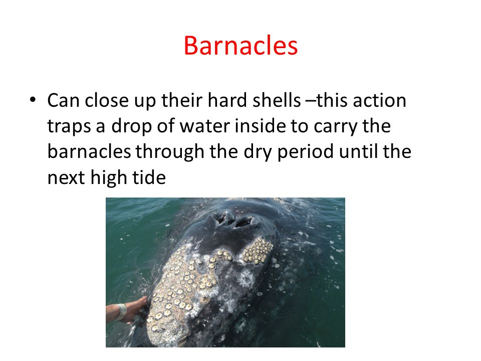 Barnacles Can close up their hard shells –this action traps a drop of water inside to carry the barnacles through the dry period until the next high tide