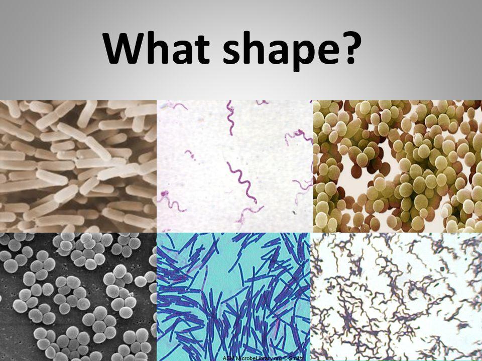 coccusbacillus spirillum coccusspirillumbacillus What shape?