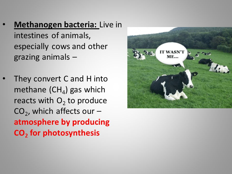 Methanogen bacteria: Live in intestines of animals, especially cows and other grazing animals – They convert C and H into methane (CH 4 ) gas which re