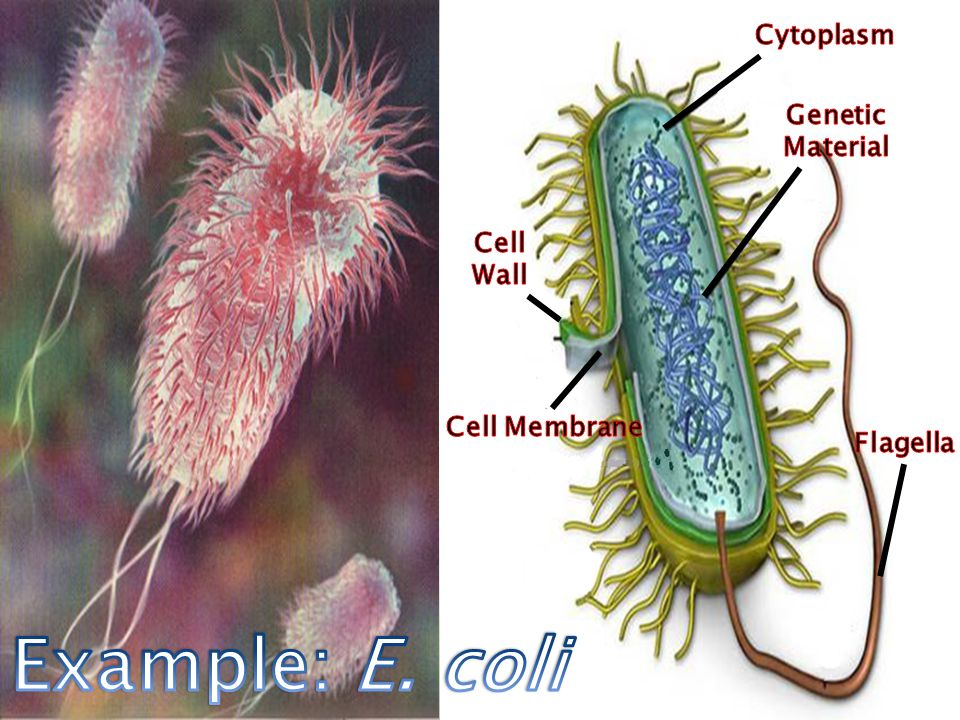 Bacteria are much larger in size than viruses, but smaller than cells.