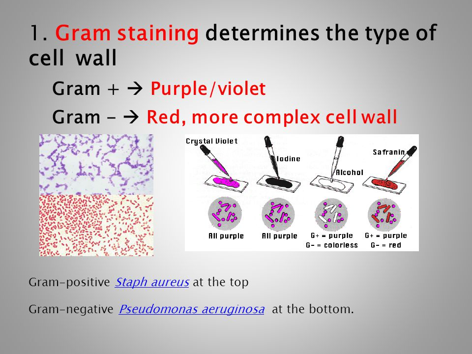 1. Gram staining determines the type of cell wall Gram +  Purple/violet Gram -  Red, more complex cell wall Gram-positive Staph aureus at the topSta