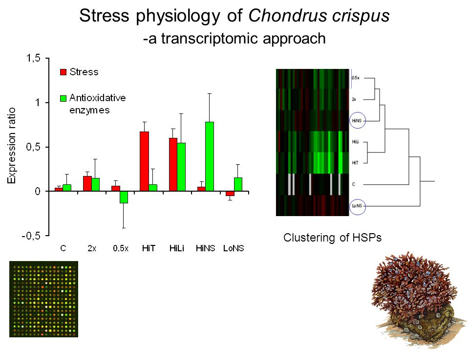 Stress physiology of Chondrus crispus -a transcriptomic approach Stress genes Clustering of HSPs