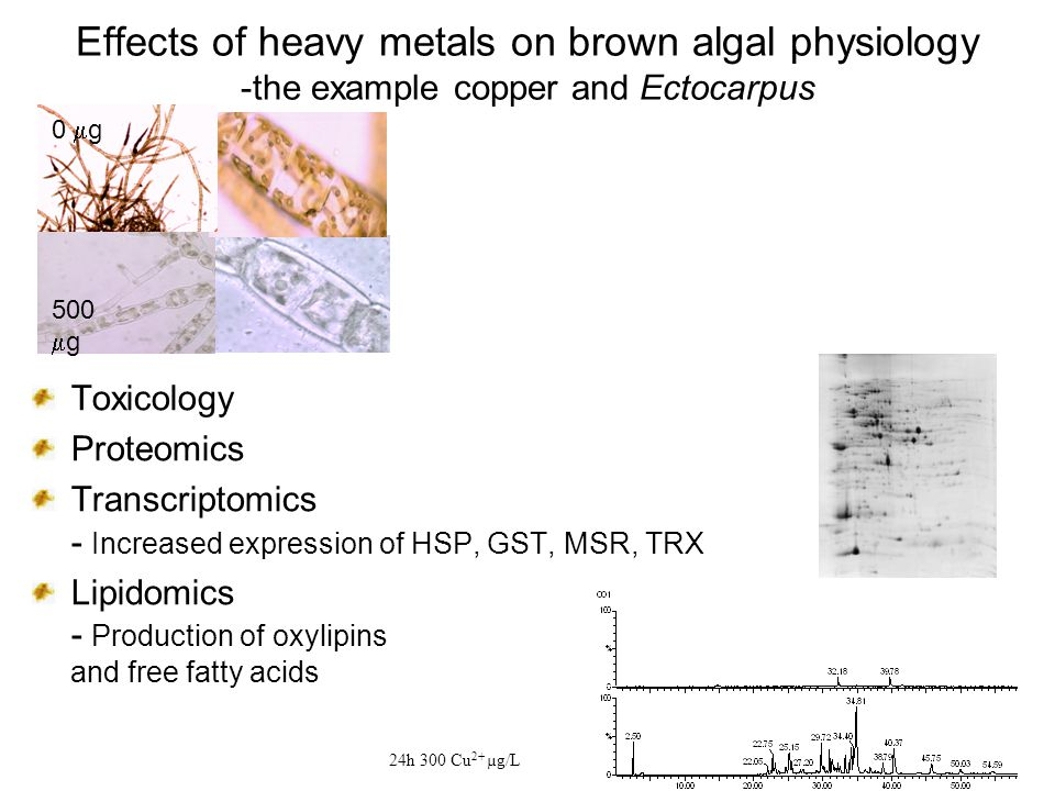 Effects of heavy metals on brown algal physiology -the example copper and Ectocarpus Toxicology Proteomics Transcriptomics - Increased expression of HSP, GST, MSR, TRX Lipidomics - Production of oxylipins and free fatty acids 24h 300 Cu 2+ µg/L 0  g 500  g