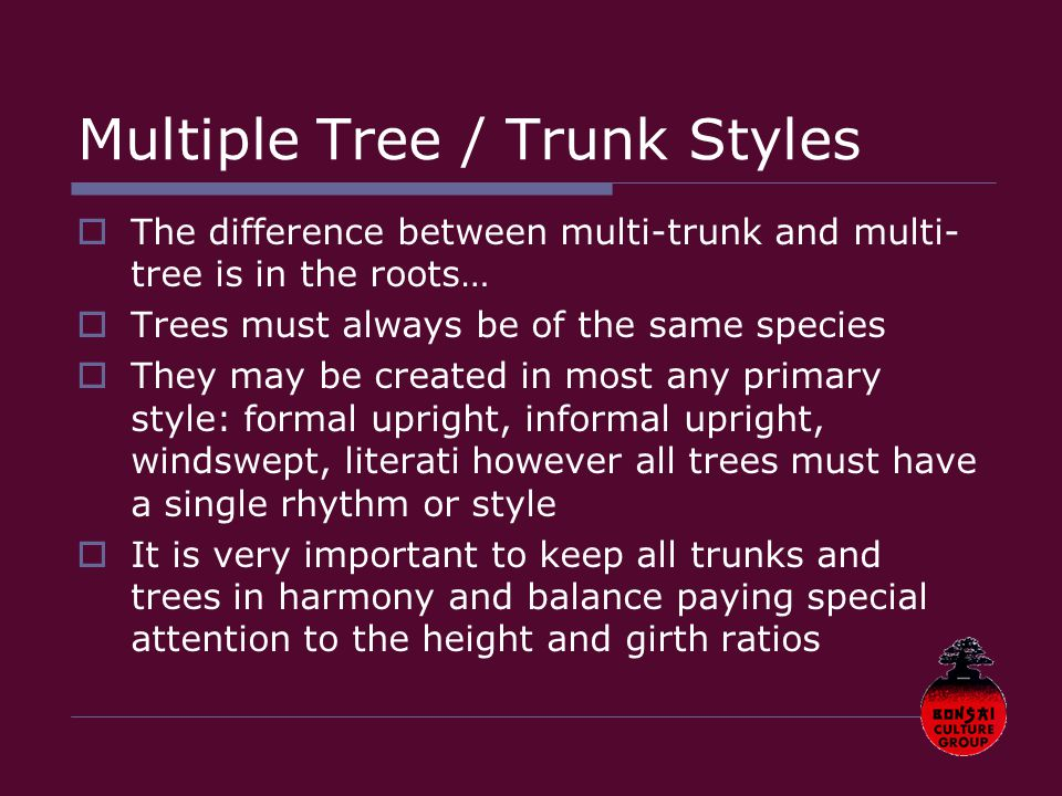 Multiple Tree / Trunk Styles  The difference between multi-trunk and multi- tree is in the roots…  Trees must always be of the same species  They may be created in most any primary style: formal upright, informal upright, windswept, literati however all trees must have a single rhythm or style  It is very important to keep all trunks and trees in harmony and balance paying special attention to the height and girth ratios