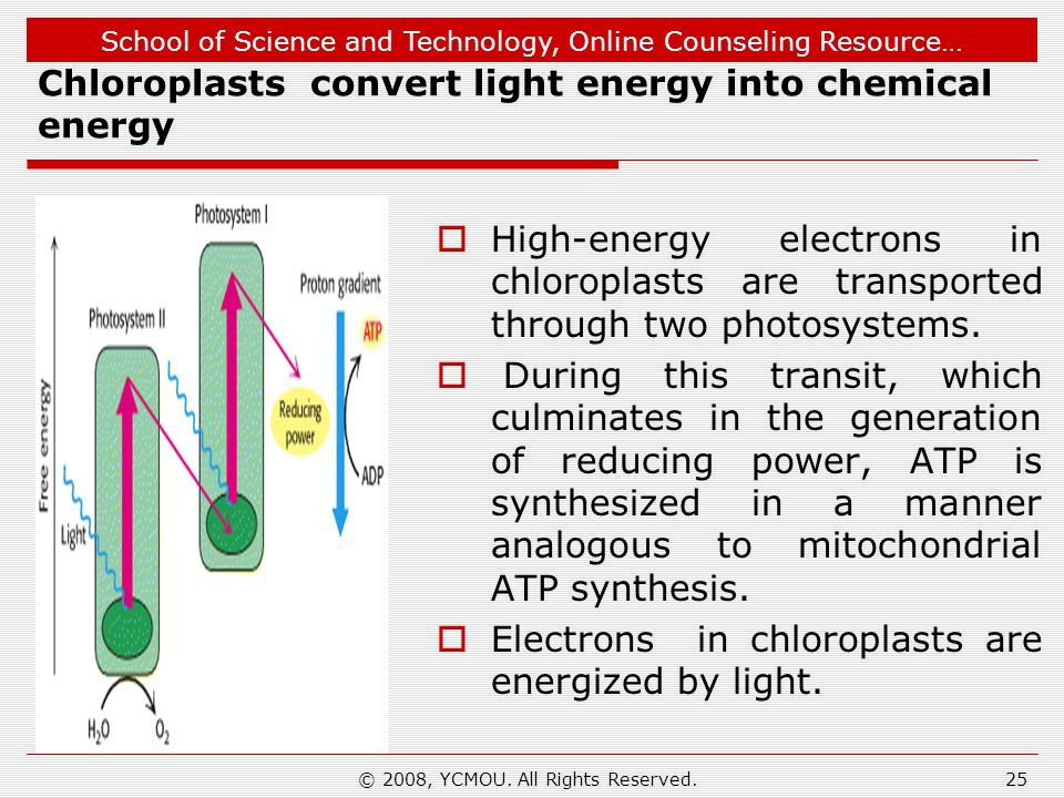 School of Science and Technology, Online Counseling Resource… Chloroplasts convert light energy into chemical energy  High-energy electrons in chloroplasts are transported through two photosystems.