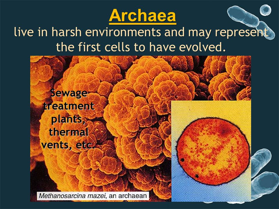 live in harsh environments and may represent the first cells to have evolved. Sewage treatment plants, thermal vents, etc. Archaea