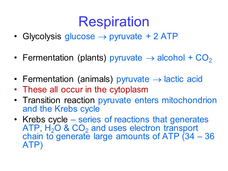 Respiration Glycolysis glucose  pyruvate + 2 ATP Fermentation (plants) pyruvate  alcohol + CO 2 Fermentation (animals) pyruvate  lactic acid These