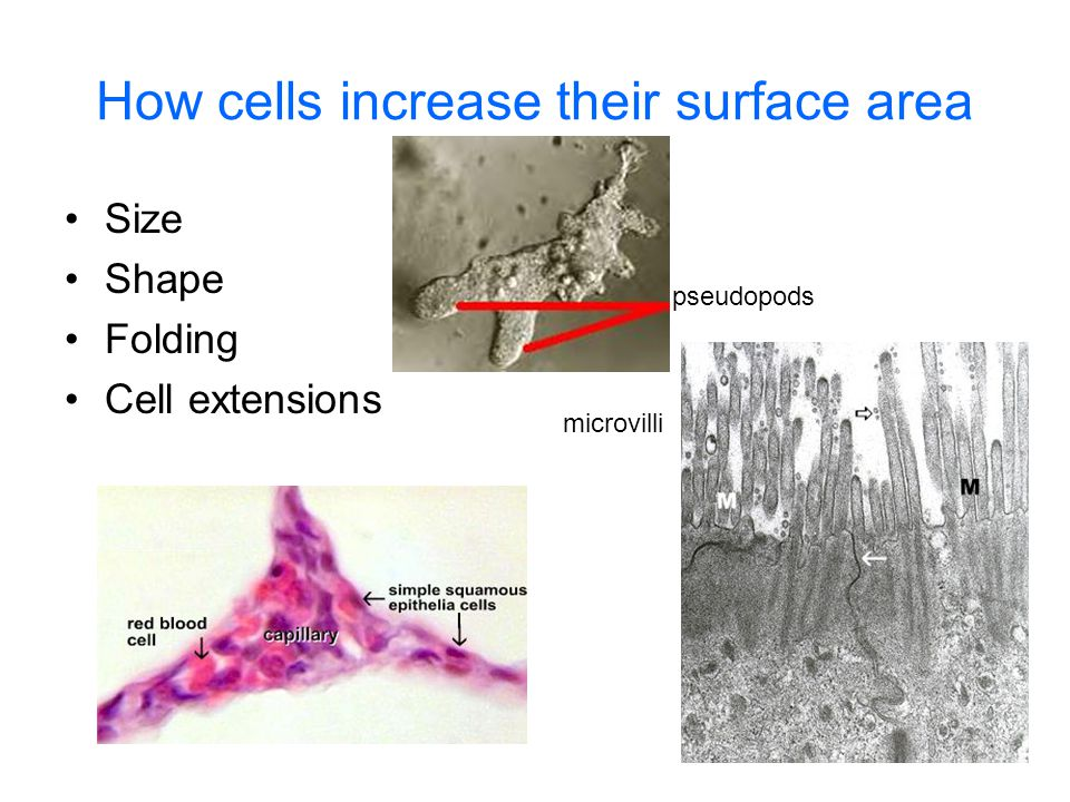 How cells increase their surface area Size Shape Folding Cell extensions pseudopods microvilli