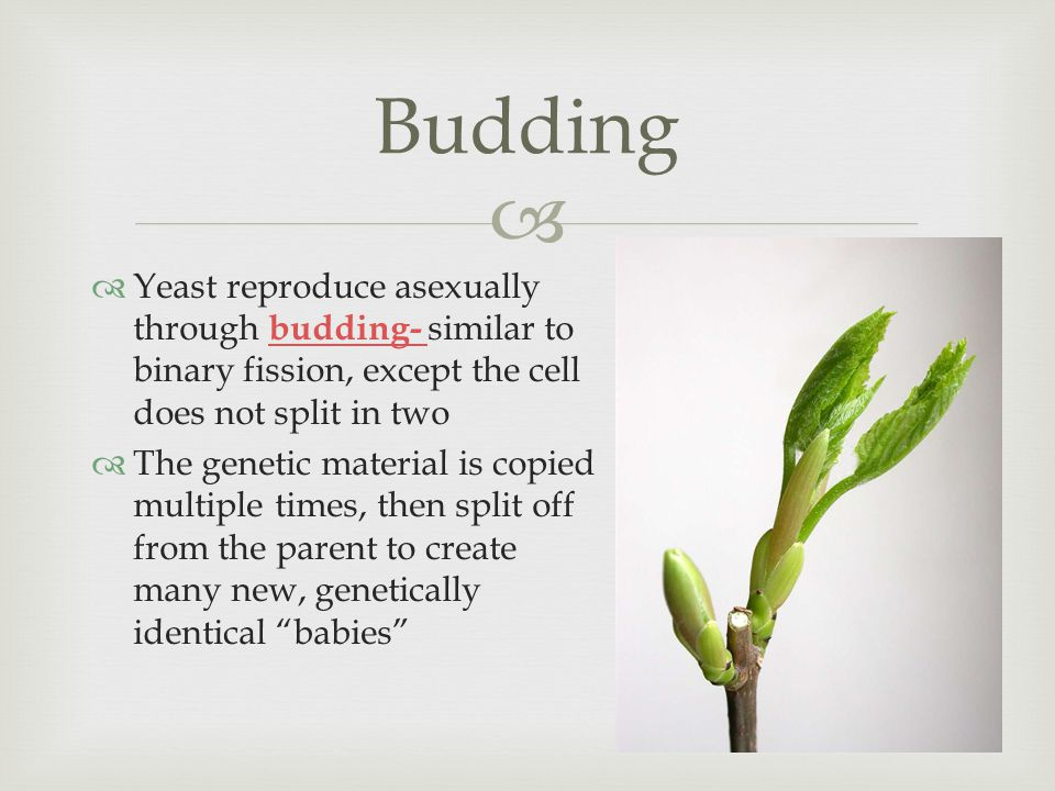   Yeast reproduce asexually through budding- similar to binary fission, except the cell does not split in two budding-  The genetic material is copied multiple times, then split off from the parent to create many new, genetically identical babies Budding