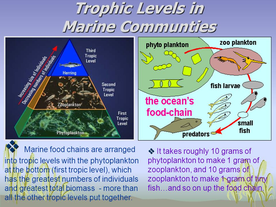 Trophic Levels in Marine Communties   It takes roughly 10 grams of phytoplankton to make 1 gram of zooplankton, and 10 grams of zooplankton to make 1 gram of tiny fish…and so on up the food chain.