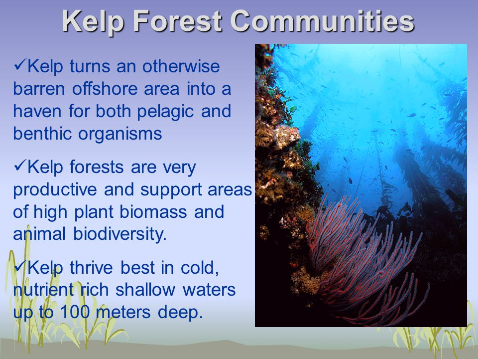 Kelp Forest Communities Kelp turns an otherwise barren offshore area into a haven for both pelagic and benthic organisms Kelp forests are very productive and support areas of high plant biomass and animal biodiversity.