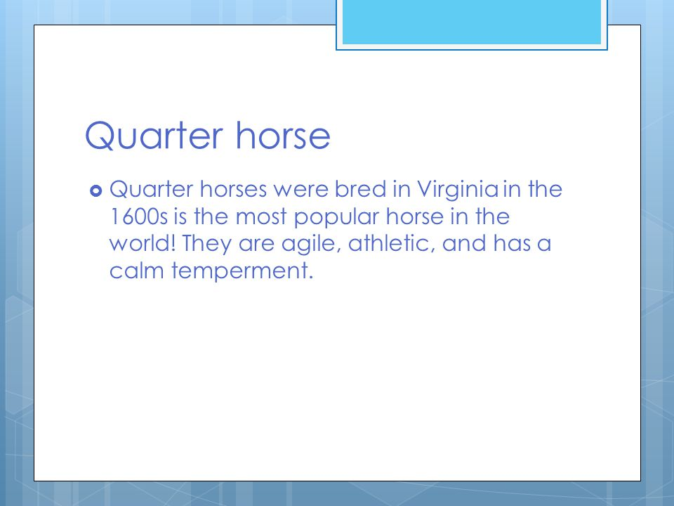 Quarter horse  Quarter horses were bred in Virginia in the 1600s is the most popular horse in the world.