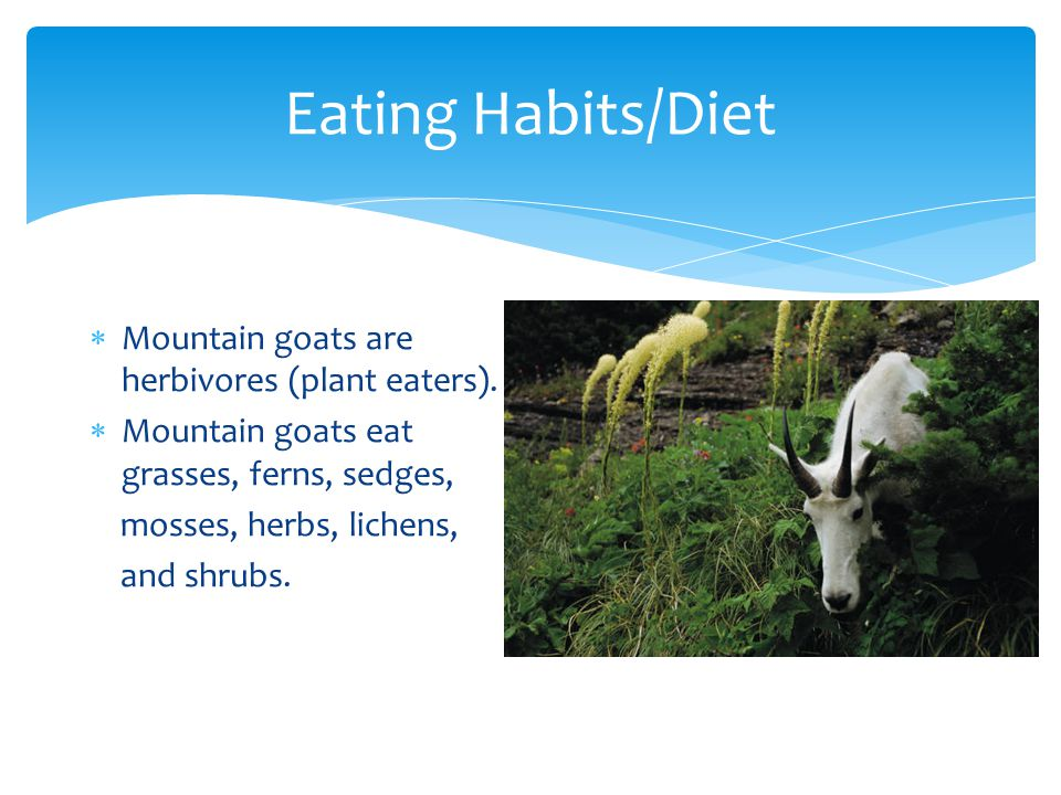 Eating Habits/Diet  Mountain goats are herbivores (plant eaters).