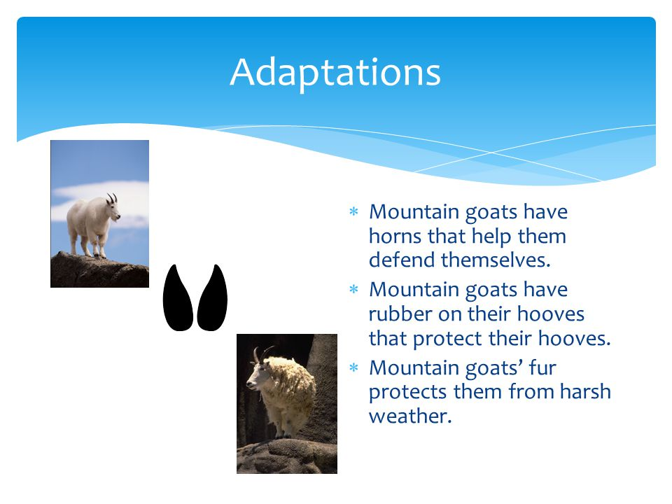 Adaptations  Mountain goats have horns that help them defend themselves.