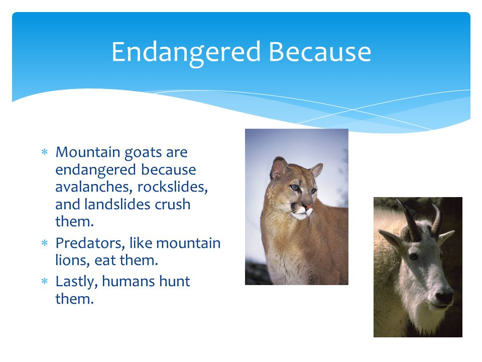 Fun Fact  If you were to look at a mountain goat's horns, then you would see rings on the horns.