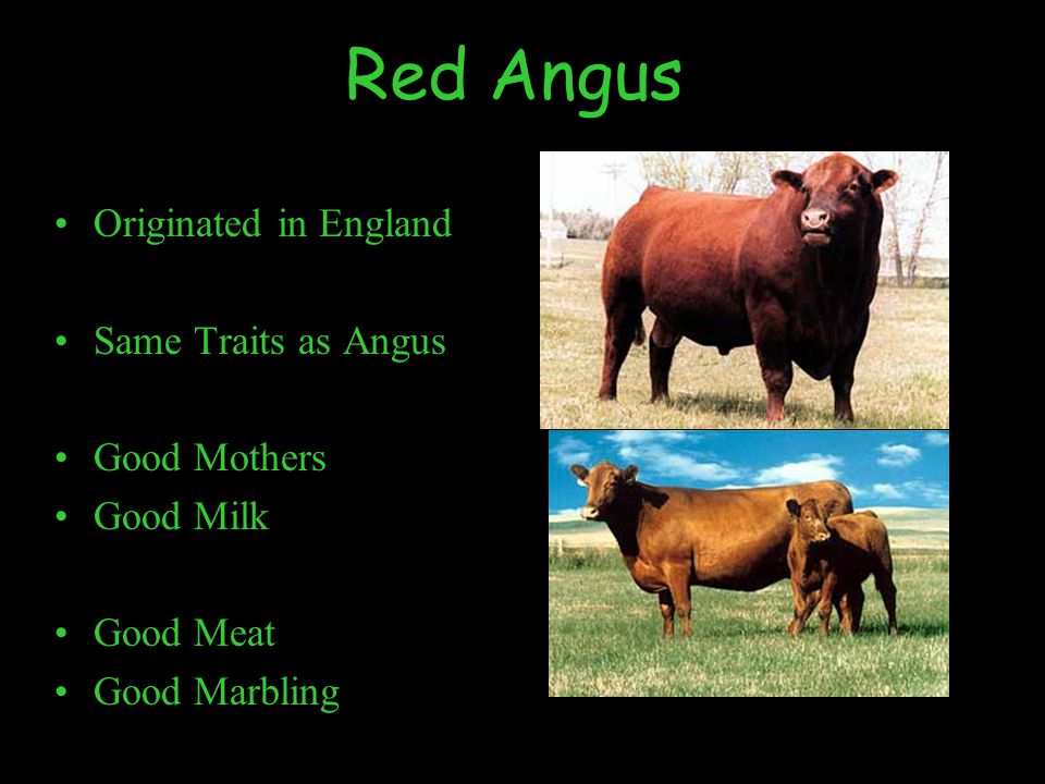 Red Angus Originated in England Same Traits as Angus Good Mothers Good Milk Good Meat Good Marbling