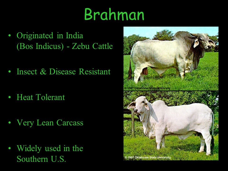 Brahman Originated in India (Bos Indicus) - Zebu Cattle Insect & Disease Resistant Heat Tolerant Very Lean Carcass Widely used in the Southern U.S.