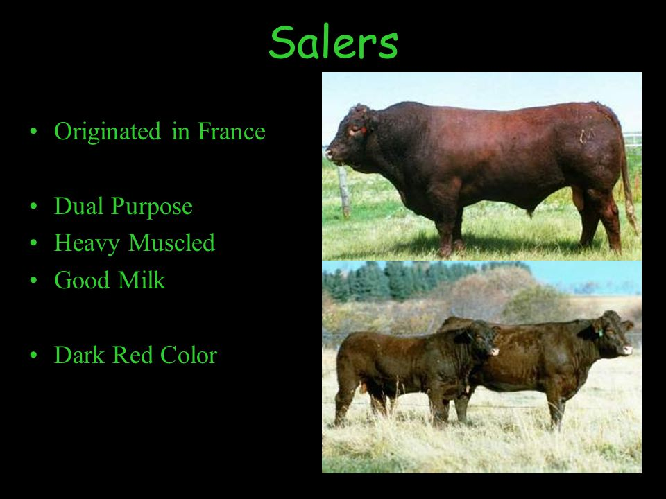 Salers Originated in France Dual Purpose Heavy Muscled Good Milk Dark Red Color