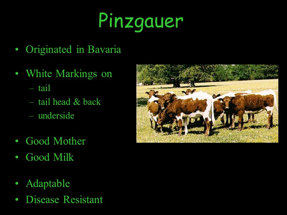 Pinzgauer Originated in Bavaria White Markings on –tail –tail head & back –underside Good Mother Good Milk Adaptable Disease Resistant