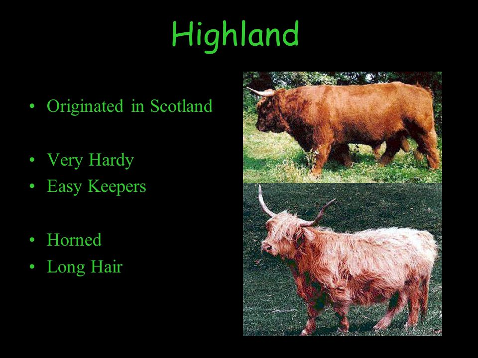 Highland Originated in Scotland Very Hardy Easy Keepers Horned Long Hair