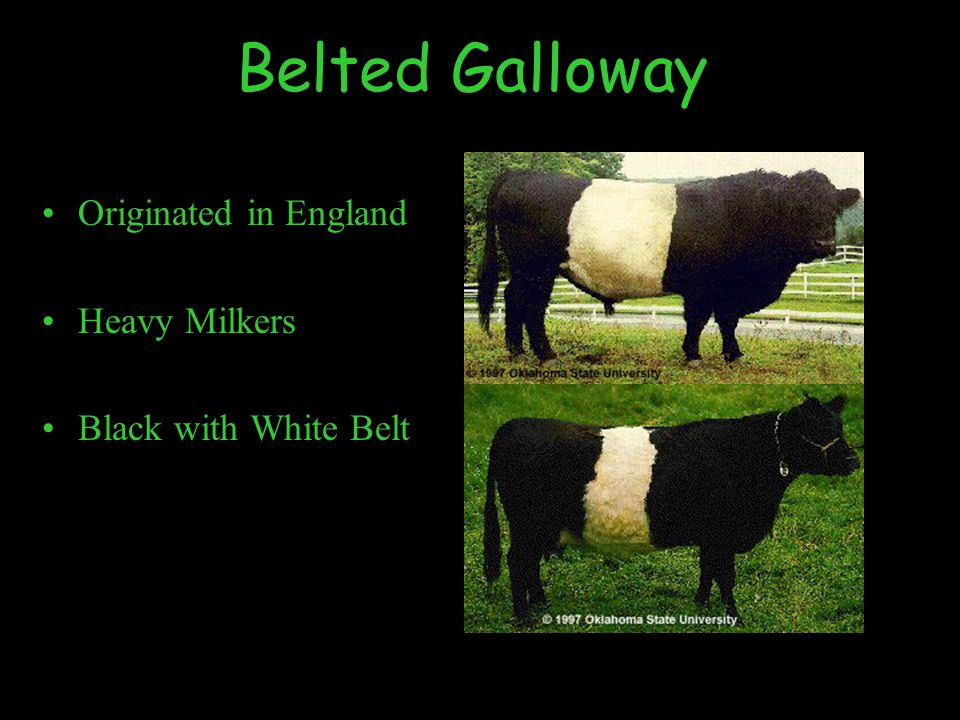 Belted Galloway Originated in England Heavy Milkers Black with White Belt