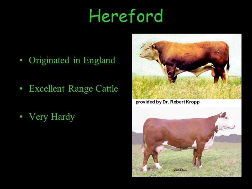 Hereford Originated in England Excellent Range Cattle Very Hardy