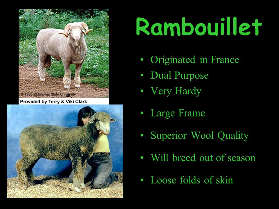 Rambouillet Originated in France Dual Purpose Very Hardy Large Frame Superior Wool Quality Will breed out of season Loose folds of skin