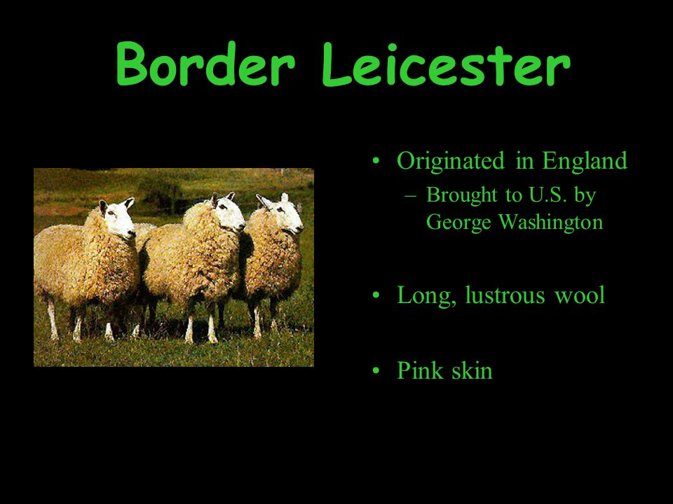 Border Leicester Originated in England –Brought to U.S.