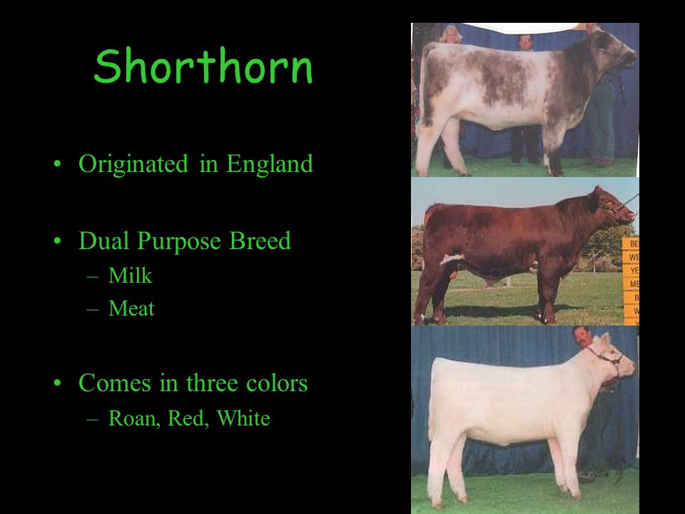 Shorthorn Originated in England Dual Purpose Breed –Milk –Meat Comes in three colors –Roan, Red, White