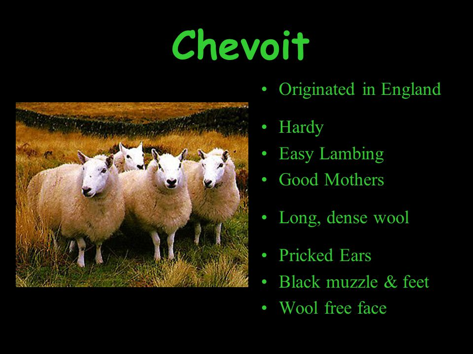 Chevoit Originated in England Hardy Easy Lambing Good Mothers Long, dense wool Pricked Ears Black muzzle & feet Wool free face