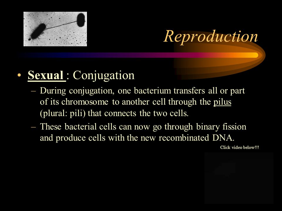 Reproduction Two types of reproduction –asexual –sexual Asexual: Binary Fission: –genetically identical –rapid reproduction; can be as little as 20 minutes in some bacteria (@ this rate they could cover the surface of the earth in a few weeks) WOW!!.