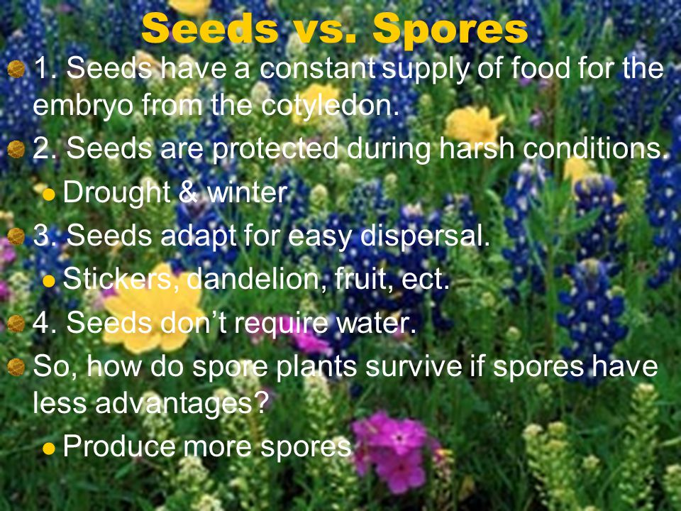 Seeds vs. Spores 1. Seeds have a constant supply of food for the embryo from the cotyledon. 2. Seeds are protected during harsh conditions. Drought &