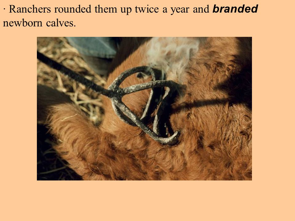 · Ranchers rounded them up twice a year and branded newborn calves.