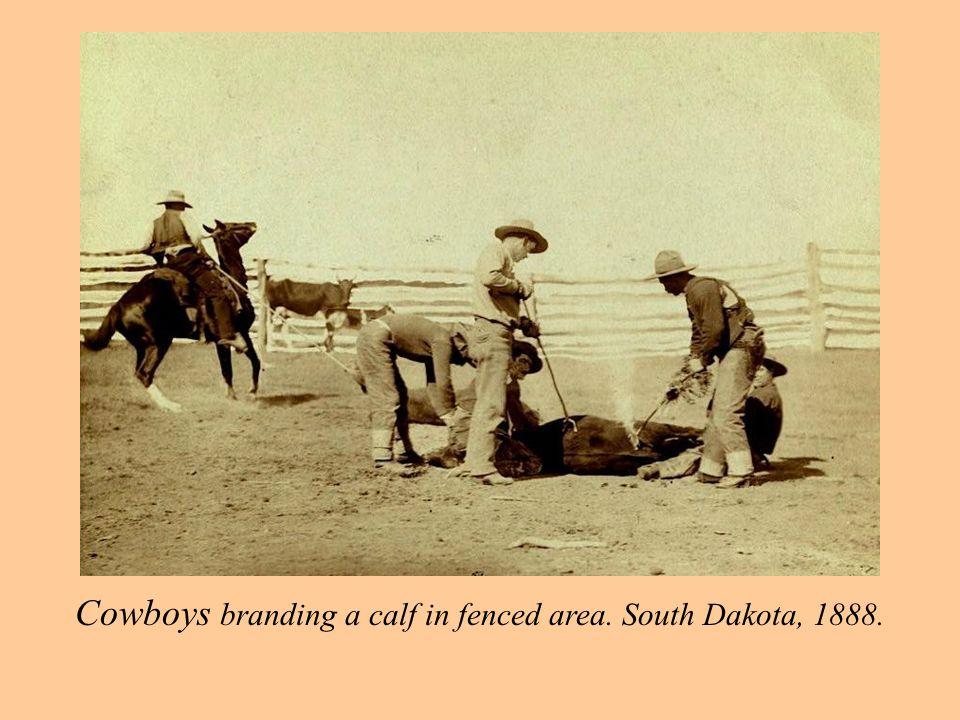 Cowboys branding a calf in fenced area. South Dakota, 1888.
