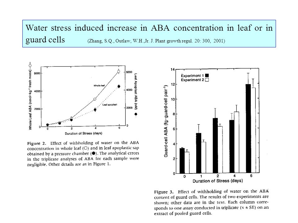Water stress induced increase in ABA concentration in leaf or in guard cells (Zhang, S.Q., Outlaw, W.H.,Jr.