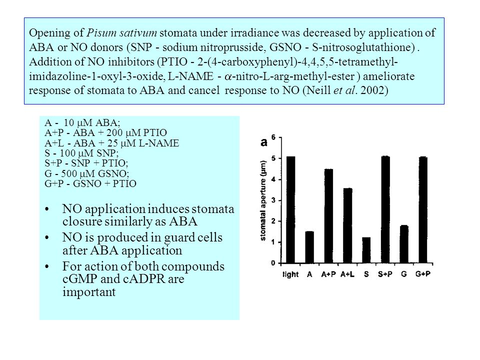 Opening of Pisum sativum stomata under irradiance was decreased by application of ABA or NO donors (SNP - sodium nitroprusside, GSNO - S-nitrosoglutathione).
