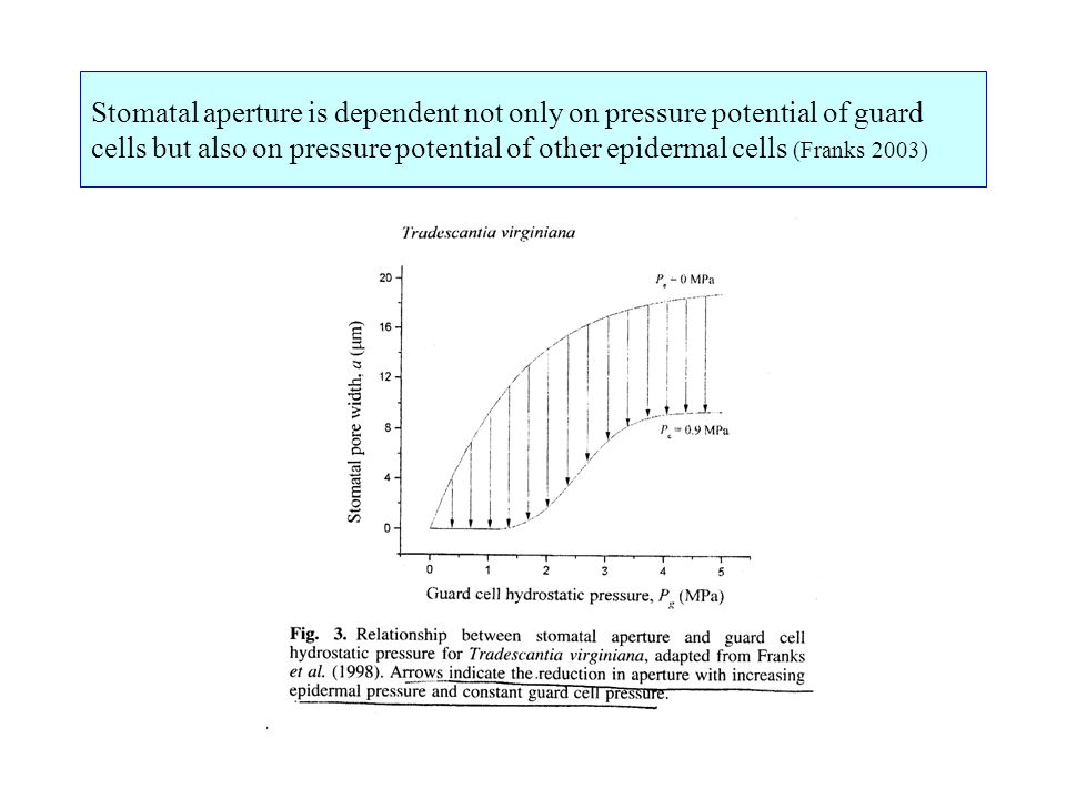 Stomatal aperture is dependent not only on pressure potential of guard cells but also on pressure potential of other epidermal cells (Franks 2003)