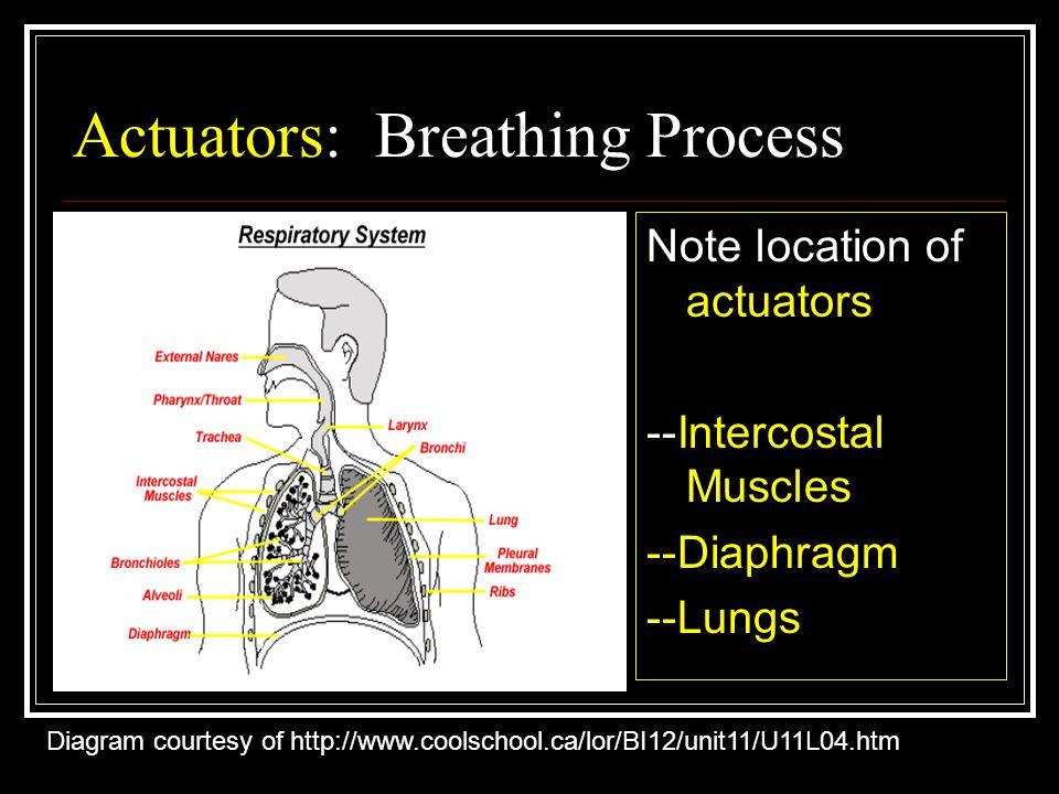 Actuators: Breathing Process Note location of actuators --Intercostal Muscles --Diaphragm --Lungs Diagram courtesy of http://www.coolschool.ca/lor/BI12/unit11/U11L04.htm