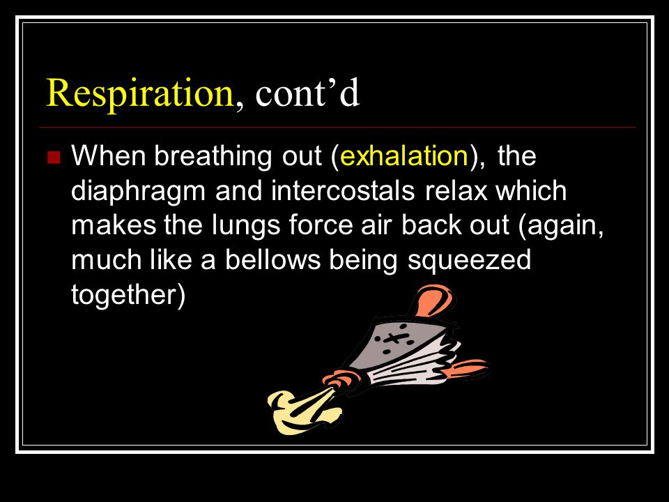Respiration, cont'd When breathing out (exhalation), the diaphragm and intercostals relax which makes the lungs force air back out (again, much like a bellows being squeezed together)