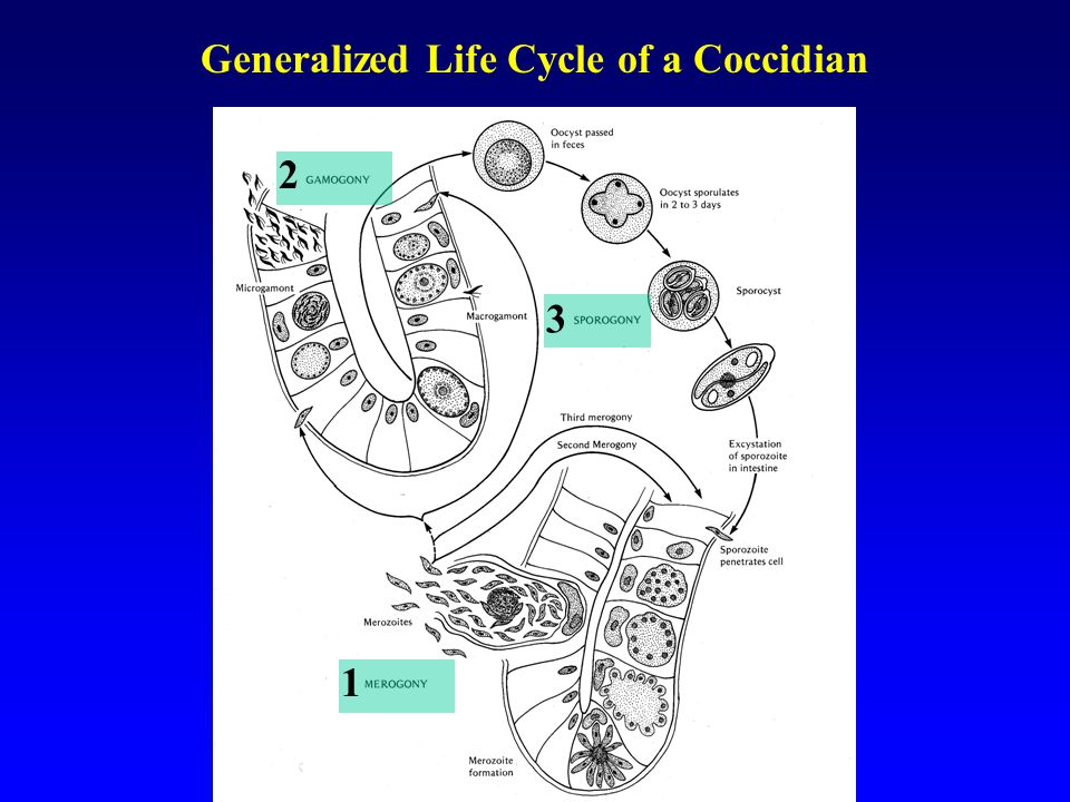 Generalized Life Cycle of a Coccidian 1 2 3