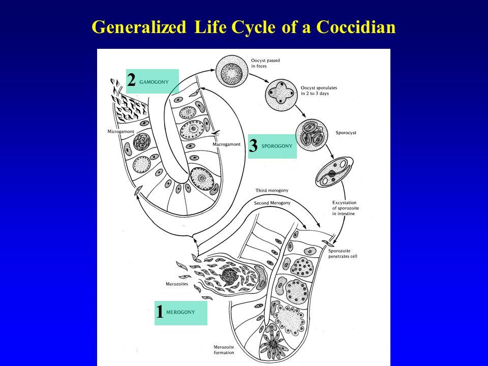 Variation in Oocyst Morphology Stieda body Oocyst Residium Micropile Cap Micropile
