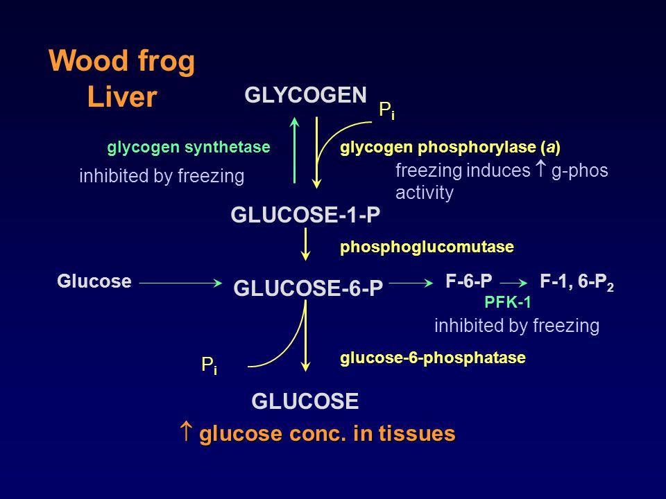 GLYCOGEN GLUCOSE-1-P GLUCOSE-6-P GLUCOSE PiPi glycogen phosphorylase (a) phosphoglucomutase PiPi glucose-6-phosphatase GlucoseF-6-PF-1, 6-P 2 PFK-1 gl