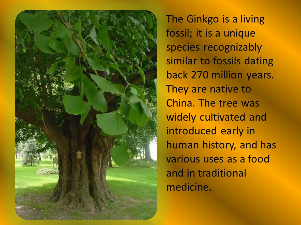 The Ginkgo is a living fossil; it is a unique species recognizably similar to fossils dating back 270 million years. They are native to China. The tre