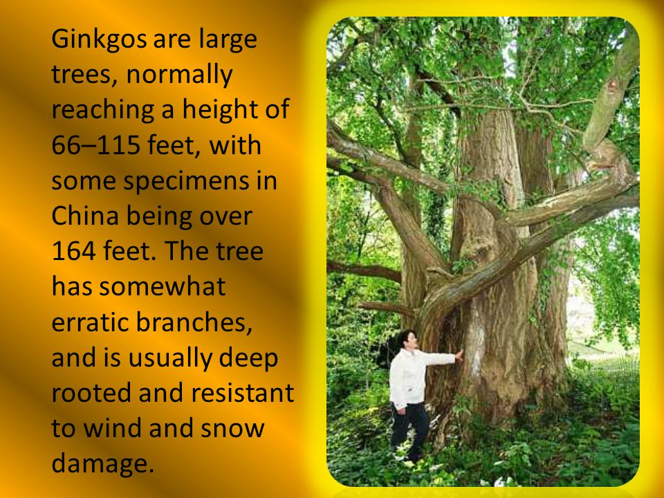 Ginkgos are large trees, normally reaching a height of 66–115 feet, with some specimens in China being over 164 feet. The tree has somewhat erratic br
