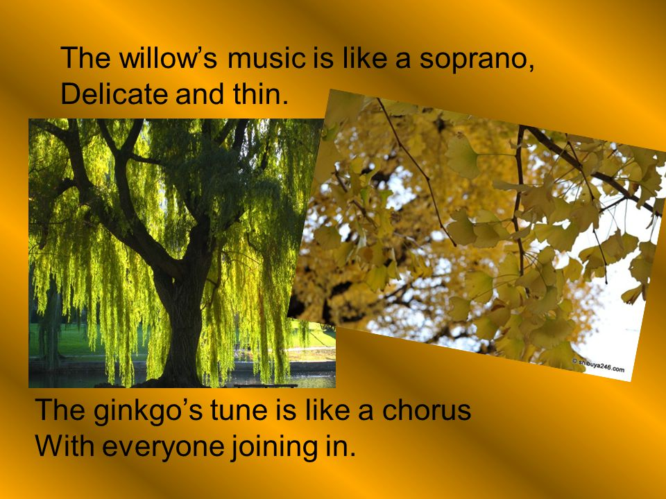 The willow's music is like a soprano, Delicate and thin. The ginkgo's tune is like a chorus With everyone joining in.