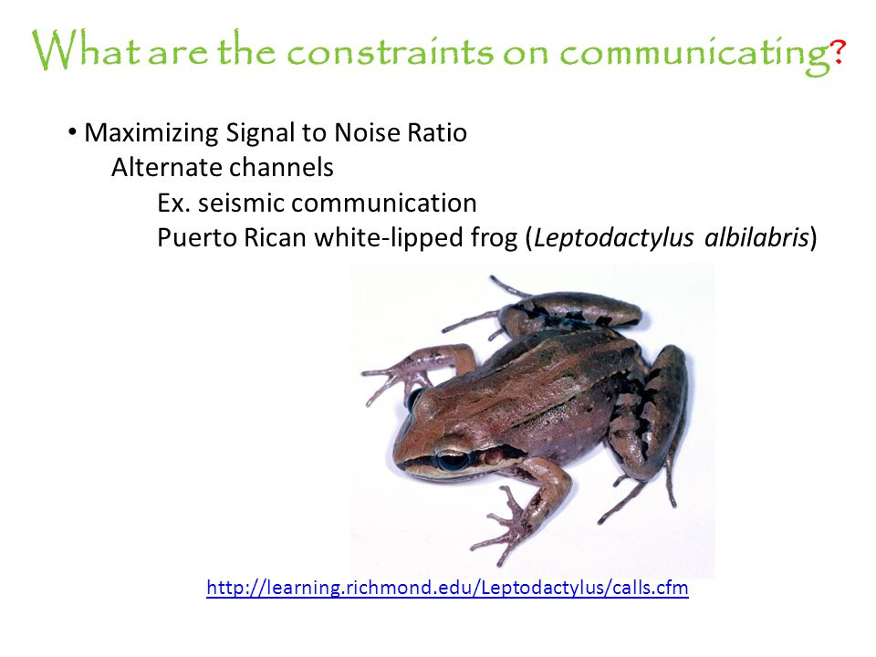 What are the constraints on communicating? Maximizing Signal to Noise Ratio Alternate channels Ex. seismic communication Puerto Rican white-lipped fro