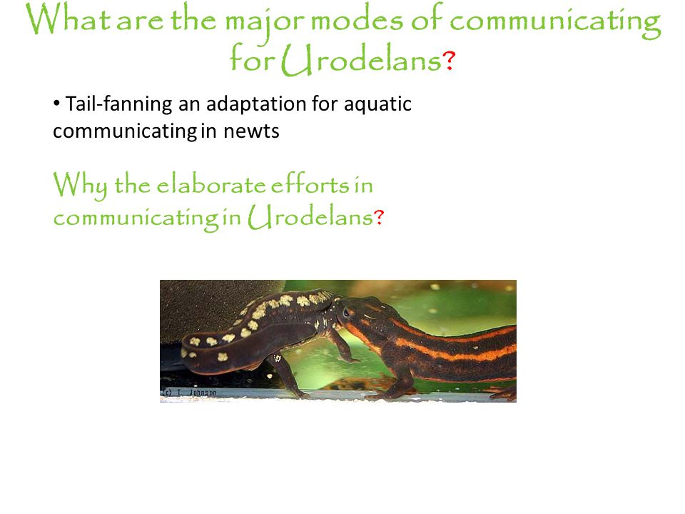 Tail-fanning an adaptation for aquatic communicating in newts Why the elaborate efforts in communicating in Urodelans.