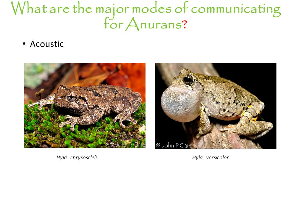 Acoustic What are the major modes of communicating for Anurans? Hyla versicolorHyla chrysoscleis