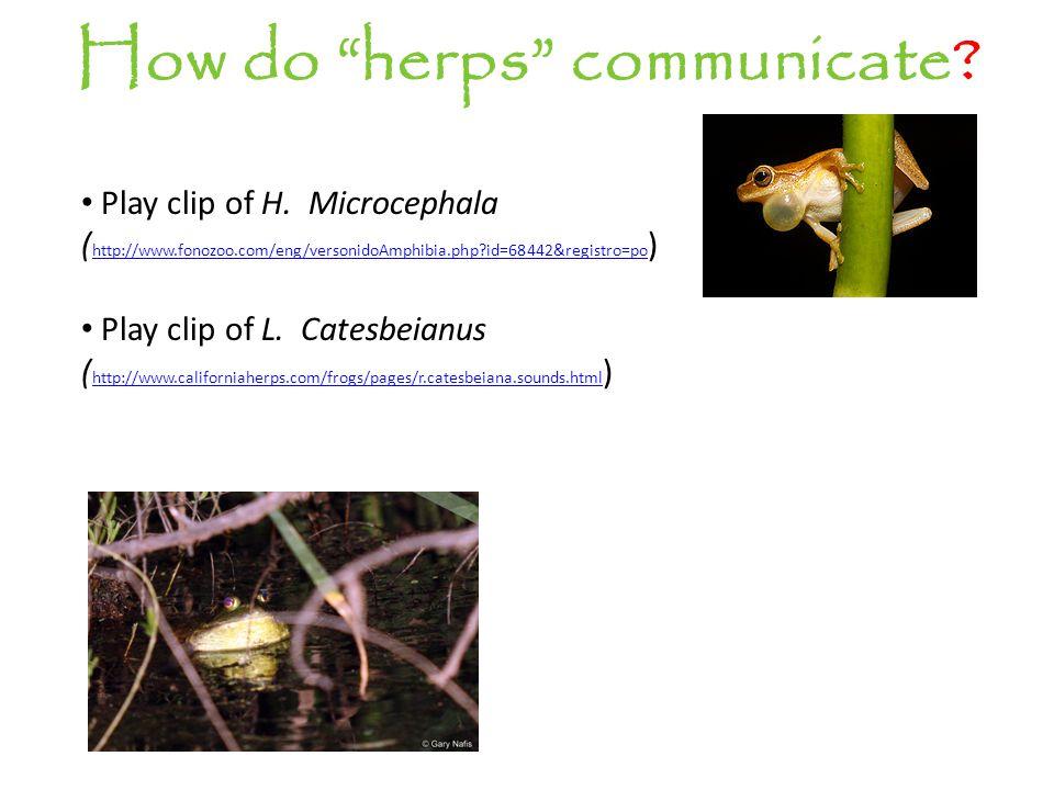 "How do ""herps"" communicate? Play clip of H. Microcephala ( http://www.fonozoo.com/eng/versonidoAmphibia.php?id=68442&registro=po ) http://www.fonozoo."